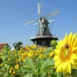 Sonnenblumen an der Mühle Klaashen